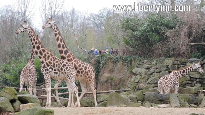 "Salah satu objek wisata keluarga yang tidak boleh dilewatkan saat berkunjung ke Hannover adalah Erlebnis Zoo Hannover. Dulu waktu saya tinggal di Hannover, biasanya selesai bersepeda setiap hari Minggu pasti menyempatkan diri ke tempat ini untuk sekedar beristirahat sembari mengisi perut yang lapar, hehe. Itu karena saya memiliki tiket masuk yang berlaku selama satu tahun, jadi tidak perlu lagi membeli karcis. Kebun binatang ini mengusung tema petualangan, dimana tidak hanya menyajikan koleksi hewan-hewan yang hidup di tempat ini melainkan juga wahana-wahana bermain dan belajar yang mengasyikkan. Erlebnis Zoo Hannover didirikan pada tanggal 4 Mei 1865 dan meliputi area seluas 22 hektar. Saat ini menampung sekitar 2.200 hewan dari 211 spesies, menjadikannya sebagai salah satu yang terkenal dan paling banyak dikunjungi di Jerman. Yang menarik adalah beberapa jenis hewan dibiarkan bebas diantara para pengunjung tanpa ada batasan. Tentunya hewan ini sudah dijinakkan sehingga tidak membahayakan orang-orang disekitar. Dengan konsep petualangan, Zoo Hannover dibagi menjadi tujuh bagian, atau juga disebut tujuh dunia dimana masing-masing mempunyai ciri khas dan fungsi masing masing : Zambezi Area yang pertama ini bertemakan padang rumput Afrika, dinamakan berdasarkan salah satu sungai penting di Afrika ""Zambezi"". Pengunjung dibawa seolah benar-benar sedang berada di Afrika, dikelilingi oleh sungai kecil berliku-liku yang menghubungkan kandang dari jerapah, singa, pelikan, kuda nil dan zebra. Diatas sungai ini pengunjung bisa menyewa perahu kecil sambil menikmati petualangan. Kibongo Kibongo terletak tepat ditengah-tengah kebun binatang dan bertemakan Gorillaberg (gunung gorilla). Mulai dari kaki gunung sampai puncak dihuni oleh berbagai macam kera dan sejenisnya. Selama menjelajah Kibongo ini pengunjung dihadapkan dengan teori evolusi manusia termasuk juga kegiatan-kegiatan penggalian replica manusia purba. Diujung jalan ada rumah hutan dengan fasilitas indoor gorila, simpa"